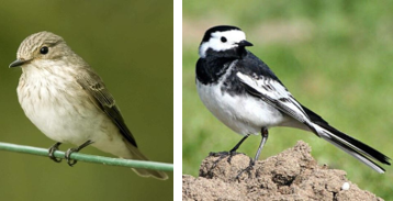Flycatcher and Wagtail