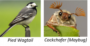 Pied Wagtail & Chafer Beetle