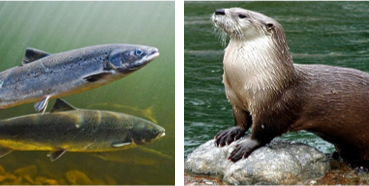 Salmon and otter