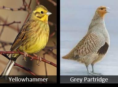 yellow hammer & grey partridge